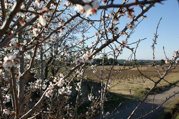 le printemps dans la vigne du languedoc