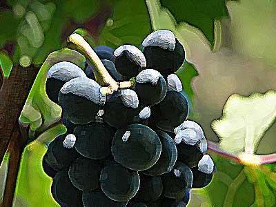 le raisin en pleine nature
