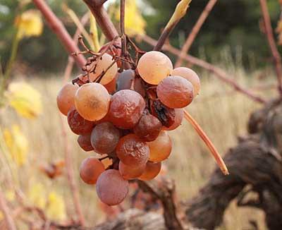 raisin abandonné