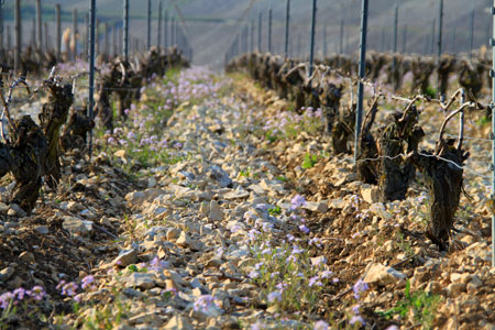 Rosette, parcelle de chablis, olivier de moor