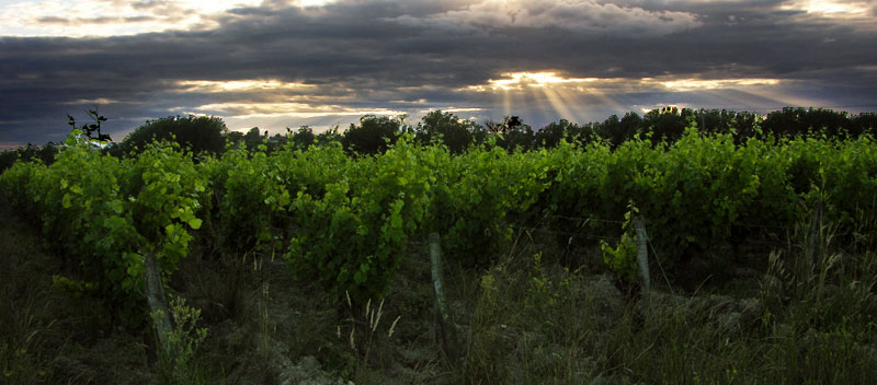 vignes-touraine-domaine-de-la-puannerie