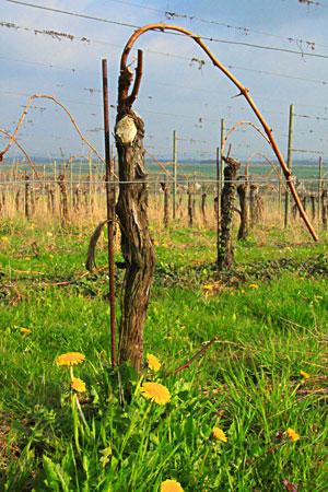vigne en normandie