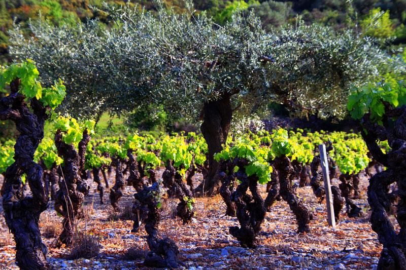 vignes et olivier