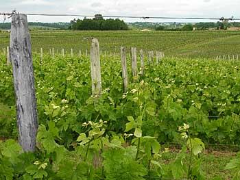 vigne chateau du payre coteaux de bordeaux et cadillac