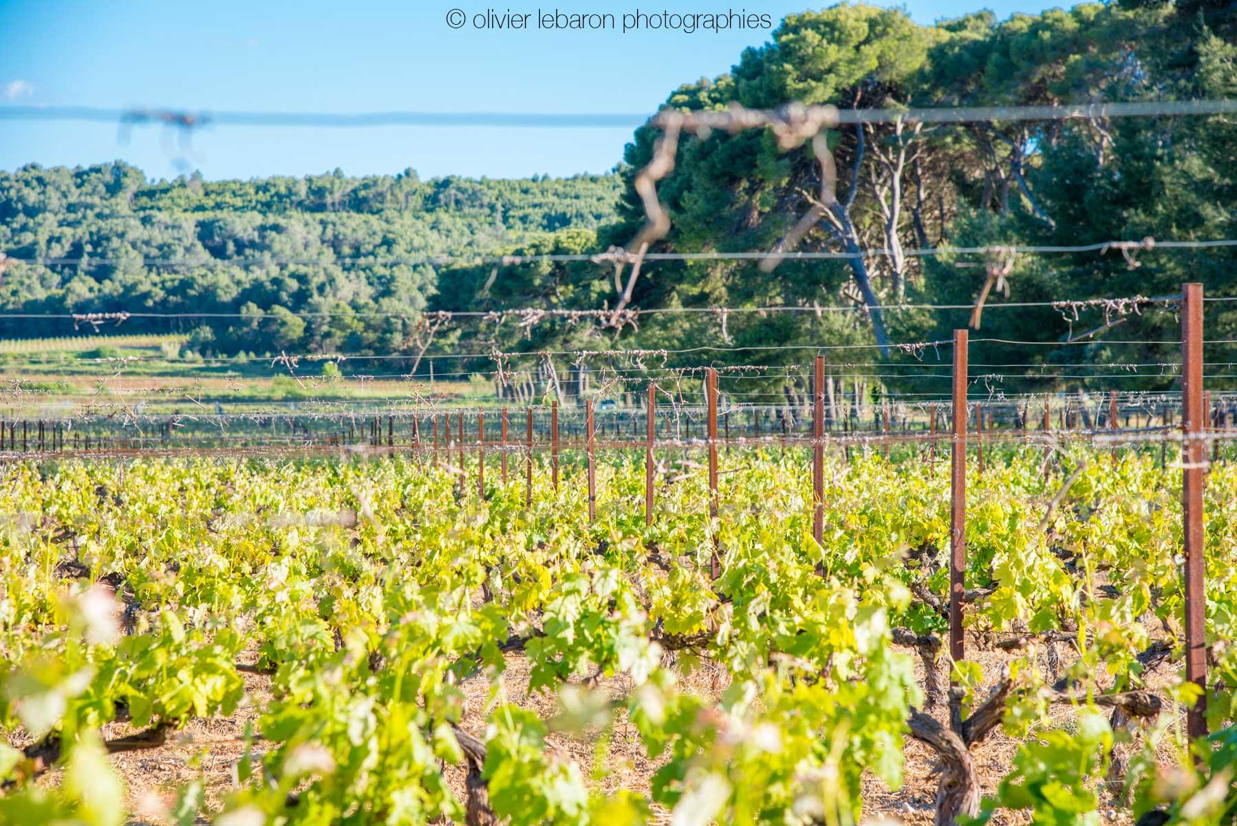 vigne avec fil de fer
